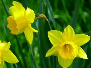 daffodils-634463_960_720